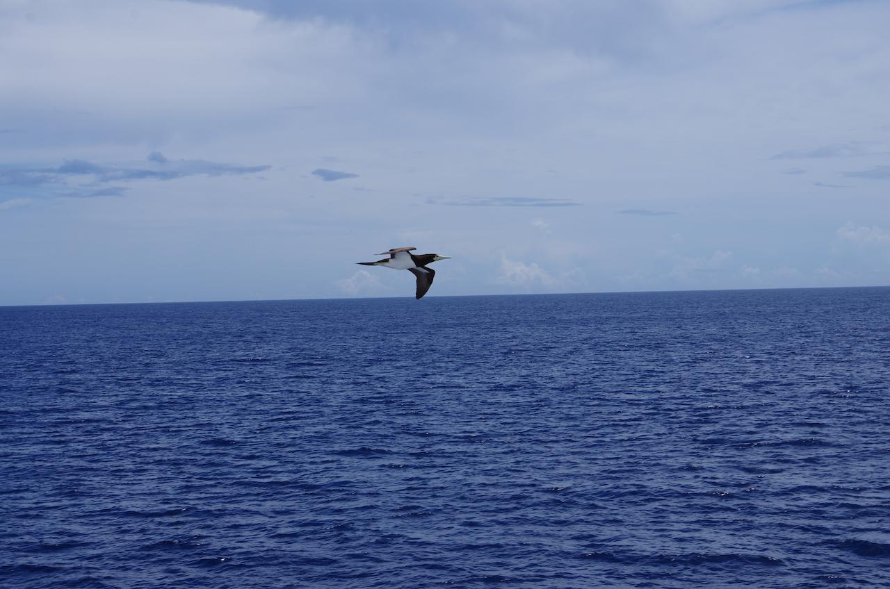 カツオドリ 写真は出航の風景と翌日のカツオドリの写真.出航翌日の朝によく見かけます... JI5